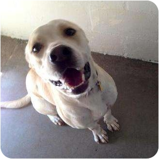 Labrador Retriever/American Pit Bull Terrier Mix Dog for adoption in Winter Haven, Florida - Marley