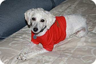 Poodle (Miniature)/Terrier (Unknown Type, Small) Mix Dog for adoption in Edmonton, Alberta - Kaylee