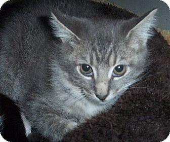 Domestic Shorthair Kitten for adoption in Columbia, South Carolina - Regan