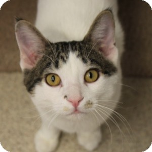 Domestic Shorthair Kitten for adoption in Naperville, Illinois - Salty