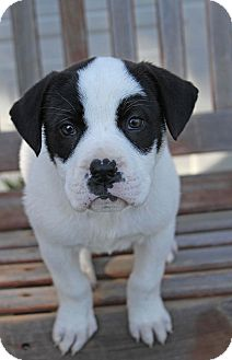 Labrador Retriever/Border Collie Mix Puppy for adoption in Yuba City, California - Domino