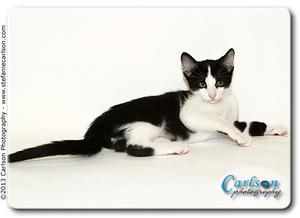 Domestic Shorthair Kitten for adoption in Yorba Linda, California - Cowboy
