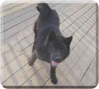 Chow Chow Mix Dog for adoption in Belleville, Michigan - Kenya