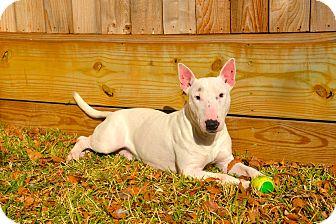 Bull Terrier Dog for adoption in Houston, Texas - Bingo