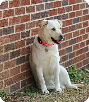 Labrador Retriever Mix Dog for adoption in Homewood, Alabama - Julie