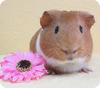 Guinea Pig for adoption in Benbrook, Texas - Stella