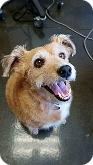 Irish Terrier/Labrador Retriever Mix Dog for adoption in Chattanooga, Tennessee - Finley