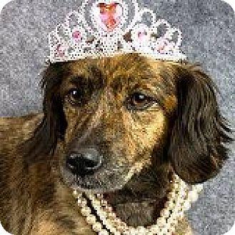 Dachshund Dog for adoption in Houston, Texas - Gigi Gelato
