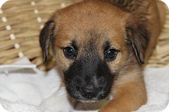 Shepherd (Unknown Type) Mix Puppy for adoption in Waldorf, Maryland - Hilary