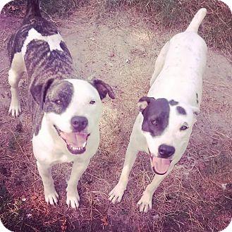 Cattle Dog/Pointer Mix Dog for adoption in Boston, Massachusetts - Petey & Purdy