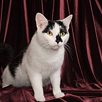 Domestic Shorthair Cat for adoption in Chicago, Illinois - Victor