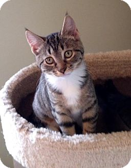 Domestic Shorthair Kitten for adoption in Charlotte, North Carolina - A..  Carmen