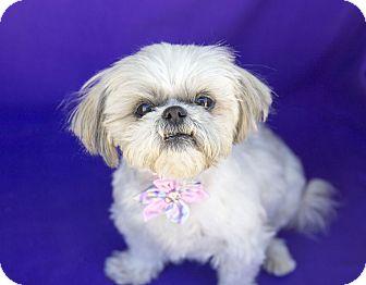 Shih Tzu Dog for adoption in Acton, California - Chloe