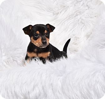Chihuahua/Spaniel (Unknown Type) Mix Puppy for adoption in Groton, Massachusetts - Chrissy