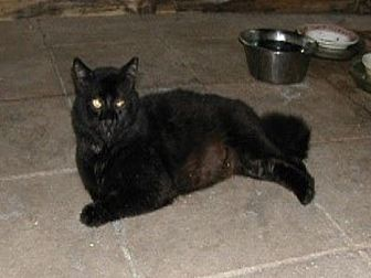 Domestic Longhair Cat for adoption in Naples, Florida - Jack