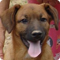 Adopt A Pet :: Shep - Staunton, VA