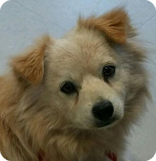Pomeranian Mix Dog for adoption in Hagerstown, Maryland - Trent