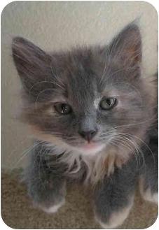Domestic Mediumhair Kitten for adoption in Sacramento, California - Koreena