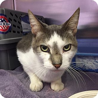 Domestic Shorthair Cat for adoption in Schererville, Indiana - Dolt