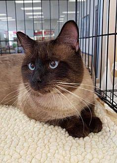 Siamese Cat for adoption in Alva, Oklahoma - Earl 1408