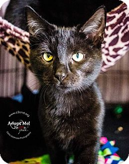 Domestic Shorthair Kitten for adoption in Charlotte, North Carolina - A..  Smoke