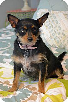 Australian Terrier/Norwich Terrier Mix Dog for adoption in Nashville, Tennessee - Milo
