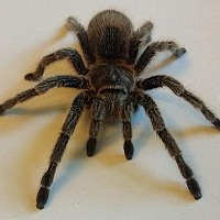 Tarantula for adoption in Lake Forest, California - Rose Hair Tarantula