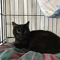 Domestic Shorthair Cat for adoption in Fallbrook, California - Samantha Melissa