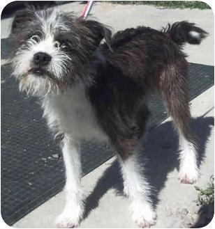 Boston Terrier/Schnauzer (Miniature) Mix Puppy for adoption in Provo, Utah - TRINKET