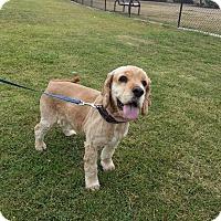 Adopt A Pet :: Bambino - San Diego, CA