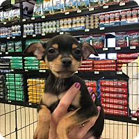 Adopt A Pet :: Devan - Gilbert, AZ