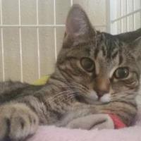 Domestic Shorthair/Domestic Shorthair Mix Cat for adoption in Waupun, Wisconsin - Wrigley