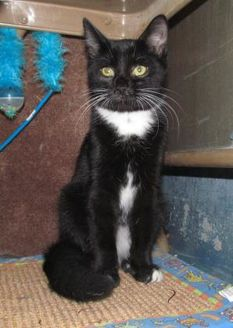 Domestic Shorthair/Domestic Shorthair Mix Cat for adoption in Inverness, Florida - MIDNIGHT