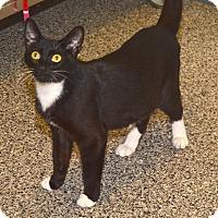 Domestic Shorthair Cat for adoption in Eastsound, Washington - Ida