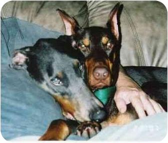Doberman Pinscher Dog for adoption in Kingwood, Texas - Sophie