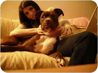 Boxer/American Staffordshire Terrier Mix Dog for adoption in Long Beach, New York - Charlie