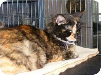 Calico Cat for adoption in Newburgh, New York - Della
