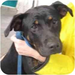 Rottweiler Mix Puppy for adoption in Berkeley, California - Mak