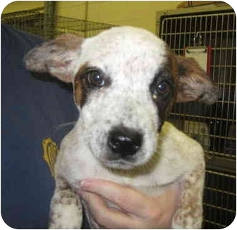 Australian Cattle Dog Mix Puppy for adoption in Stillwater, Oklahoma - LaDawn
