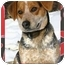 Photo 1 - Beagle/Blue Heeler Mix Dog for adoption in Ladysmith, Wisconsin - Otis