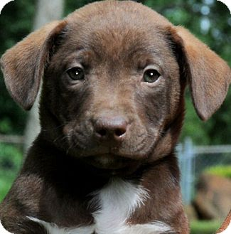 Labrador Retriever/Boxer Mix Puppy for adoption in Wakefield, Rhode Island - PETEY(THE CUTEST PUP EVER!!!