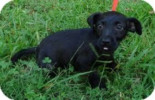 Wirehaired Fox Terrier Mix Puppy for adoption in Foster, Rhode Island - Pistol