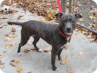 American Staffordshire Terrier Mix Dog for adoption in Southbury, Connecticut - Josie