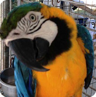 Macaw for adoption in Punta Gorda, Florida - Skava