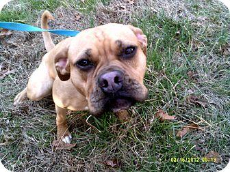 Boxer/Pug Mix Dog for adoption in Dundas, Virginia - Gucci