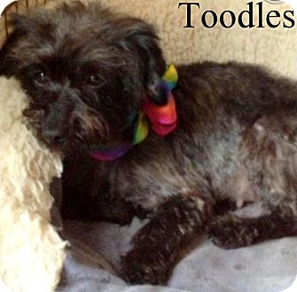 Poodle (Miniature)/Yorkie, Yorkshire Terrier Mix Dog for adoption in New Jersey, New Jersey - NJ - Toodles
