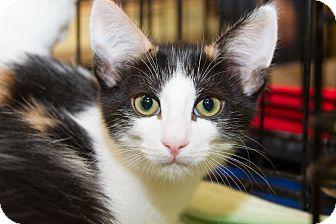 Domestic Shorthair Kitten for adoption in Irvine, California - Megan