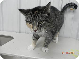 Domestic Shorthair Cat for adoption in Buffalo, Wyoming - Jenny