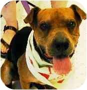 Shar Pei Mix Dog for adoption in Scottsdale, Arizona - Lenny