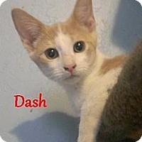 Adopt A Pet :: Dash - Chandler, AZ